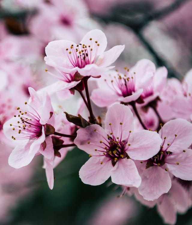 Derbyshire Chesterfield schools Japan Cherry tree